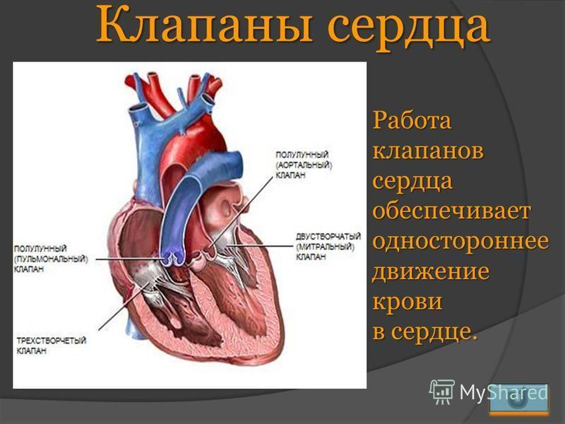 Клапаны сердца Работа клапанов сердца обеспечивает одностороннее движение крови в сердце.