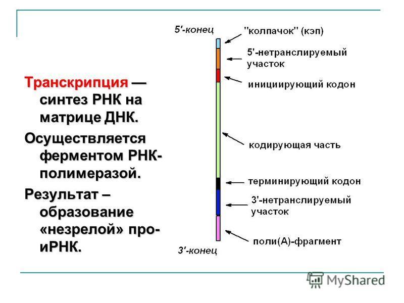 Транскрипция синтез РНК на матрице ДНК. Осуществляется ферментом РНК- полимеразой. Результат – образование «незрелой» про- иРНК.