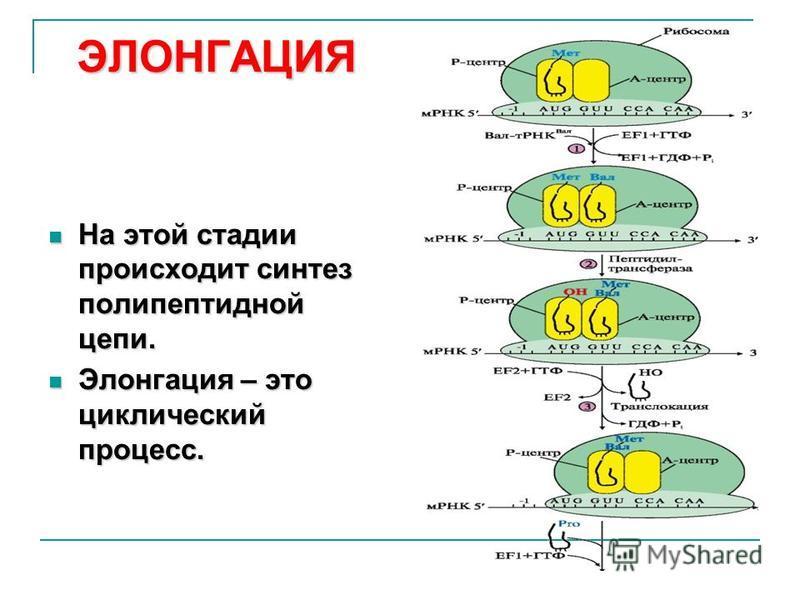 ЭЛОНГАЦИЯ На этой стадии происходит синтез полипептидной цепи. На этой стадии происходит синтез полипептидной цепи. Элонгация – это циклический процесс. Элонгация – это циклический процесс.