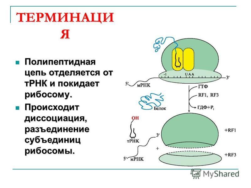 ТЕРМИНАЦИ Я Полипептидная цепь отделяется от тРНК и покидает рибосому. Полипептидная цепь отделяется от тРНК и покидает рибосому. Происходит диссоциация, разъединение субъединиц рибосомы. Происходит диссоциация, разъединение субъединиц рибосомы.