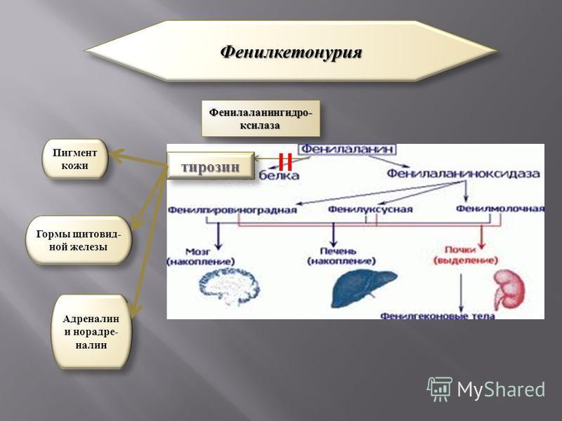 тирозин Пигмент кожи Гормы щитовидной железы Адреналин и норадреналин Фенилкетонурия Фенилкетонурия Фенилаланингидро- ксилоза