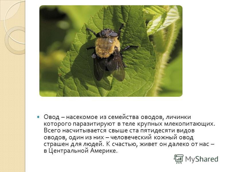 Овод – насекомое из семейства оводов, личинки которого паразитируют в теле крупных млекопитающих. Всего насчитывается свыше ста пятидесяти видов оводов, один из них – человеческий кожный овод страшен для людей. К счастью, живет он далеко от нас – в Ц