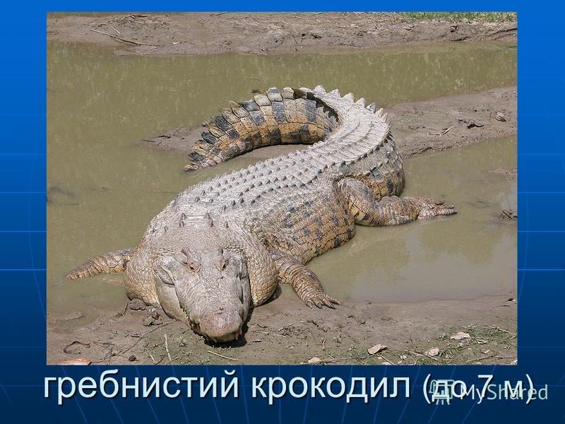 гребнистий крокодил (до 7 м) гребнистий крокодил (до 7 м)