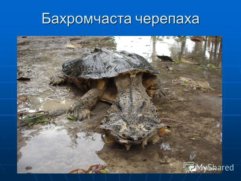 Бахромчаста черепаха