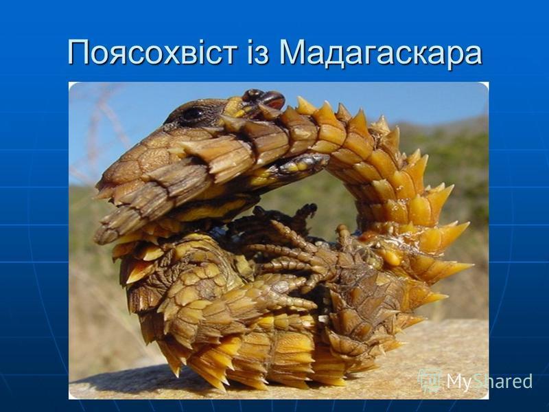 Поясохвіст із Мадагаскара