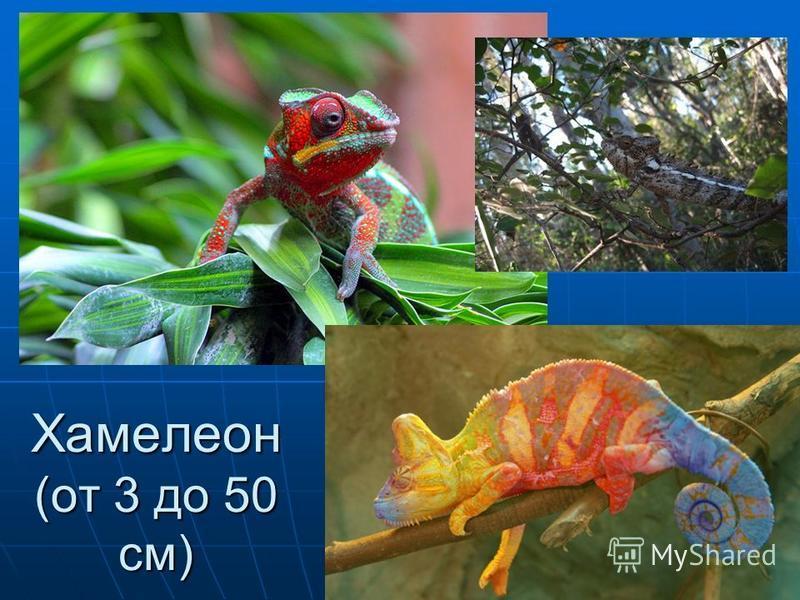Хамелеон (от 3 до 50 см)