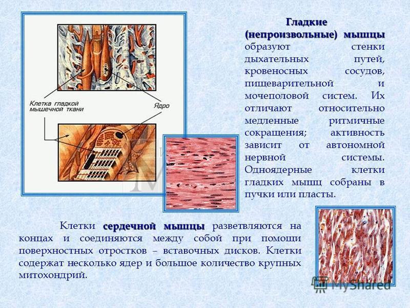 Гладкие (непроизвольные)мышцы Гладкие (непроизвольные) мышцы образуют стенки дыхательных путей, кровеносных сосудов, пищеварительной и мочеполовой систем. Их отличают относительно медленные ритмичные сокращения; активность зависит от автономной нервн