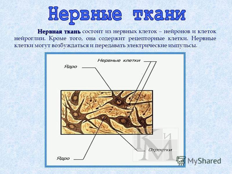 Нервная ткань Нервная ткань состоит из нервных клеток – нейронов и клеток нейроглии. Кроме того, она содержит рецепторные клетки. Нервные клетки могут возбуждаться и передавать электрические импульсы.