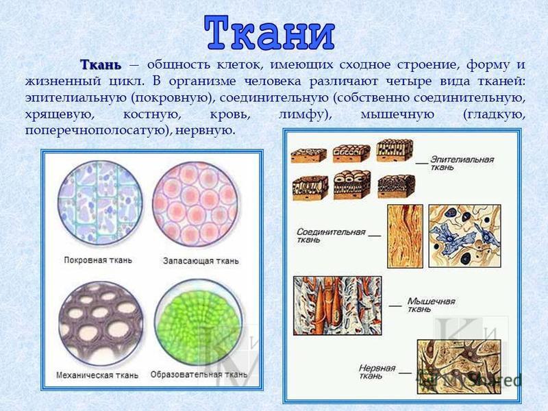 Ткань Ткань общность клеток, имеющих сходное строение, форму и жизненный цикл. В организме человека различают четыре вида тканей: эпителиальную (покровную), соединительную (собственно соединительную, хрящевую, костную, кровь, лимфу), мышечную (гладку