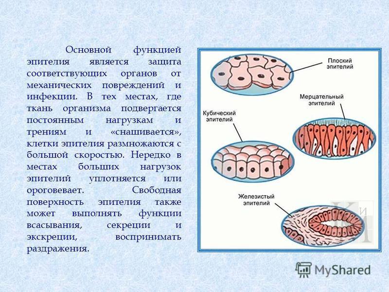 Основной функцией эпителия является защита соответствующих органов от механических повреждений и инфекции. В тех местах, где ткань организма подвергается постоянным нагрузкам и трениям и «снашивается», клетки эпителия размножаются с большой скоростью