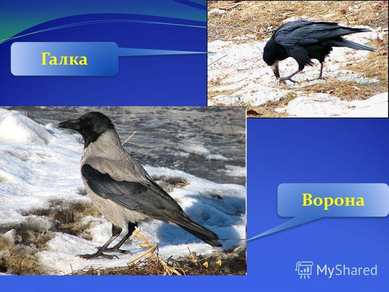 Ворона Галка
