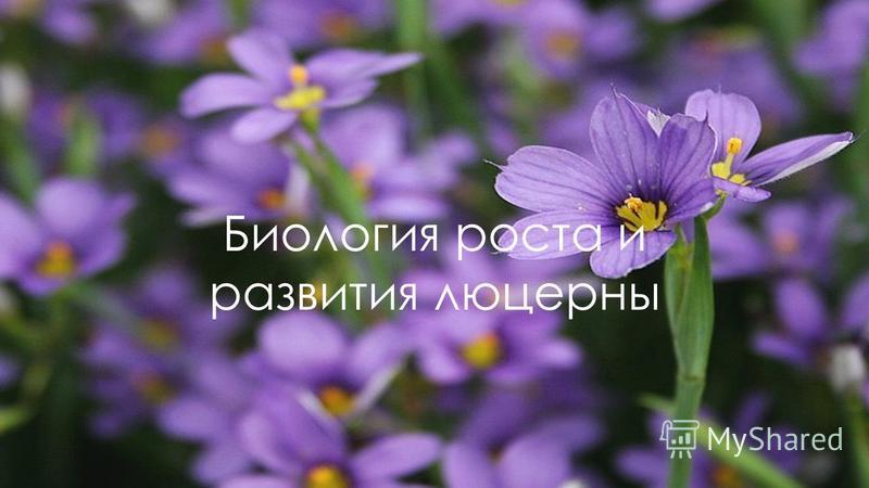Биология роста и развития люцерны