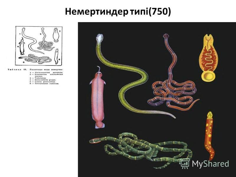 Немертиндер типі(750)