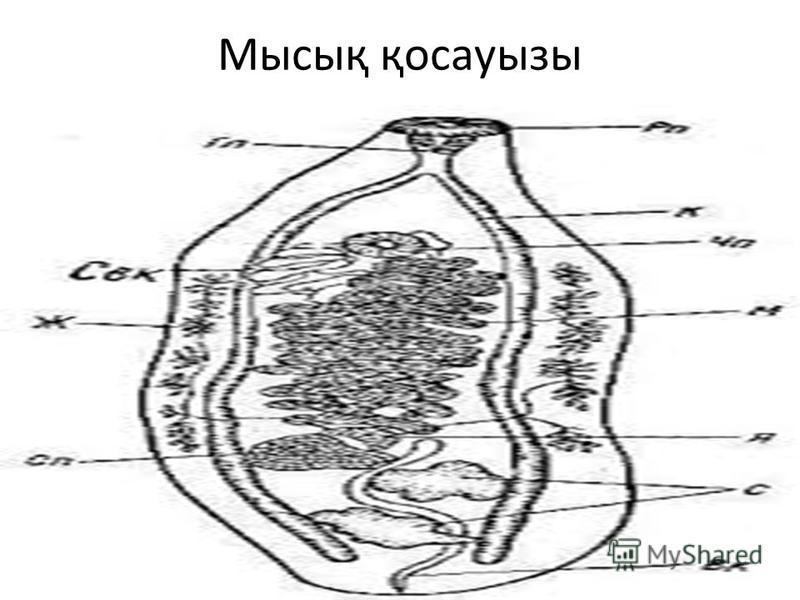 Мысық қосауызы