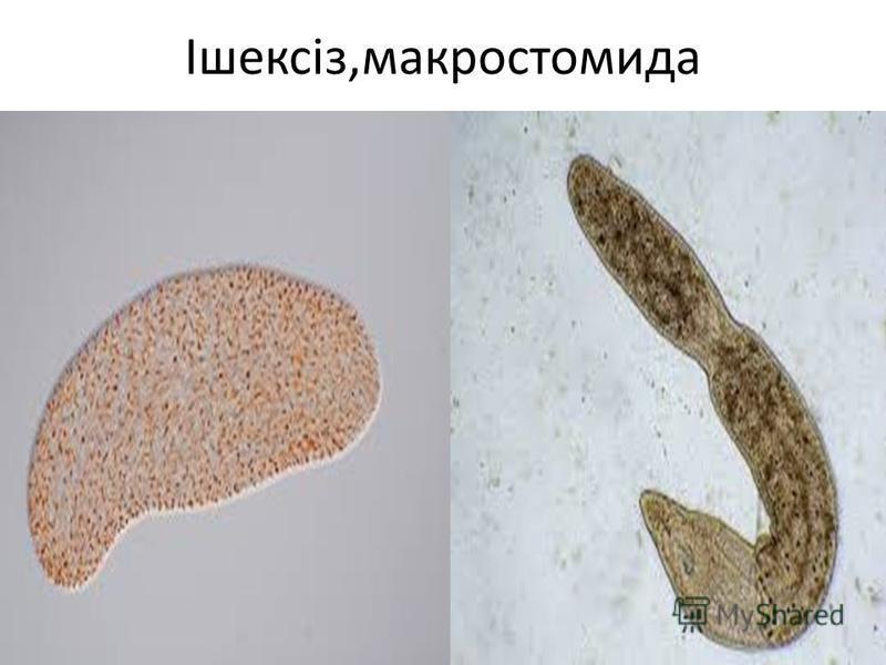 Ішексіз,макростомида