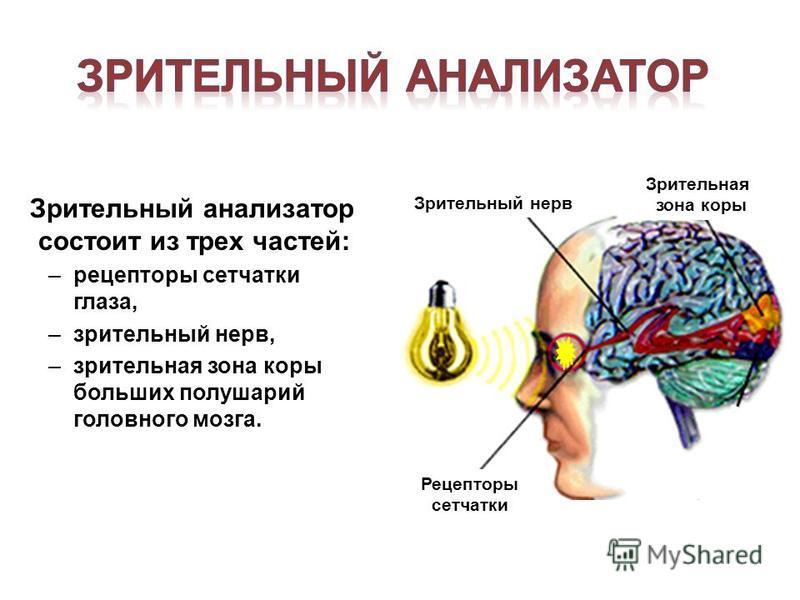 Зрительный анализатор состоит из трех частей: –рецепторы сетчатки глаза, –зрительный нерв, –зрительная зона коры больших полушарий головного мозга. Рецепторы сетчатки Зрительный нерв Зрительная зона коры