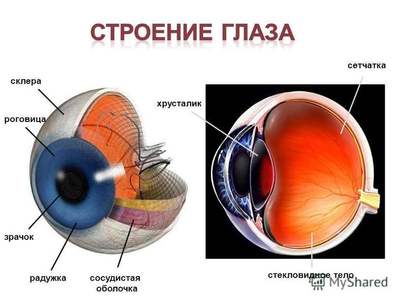 склера роговица зрачок радужка сосудистая оболочка хрусталик стекловидное тело сетчатка