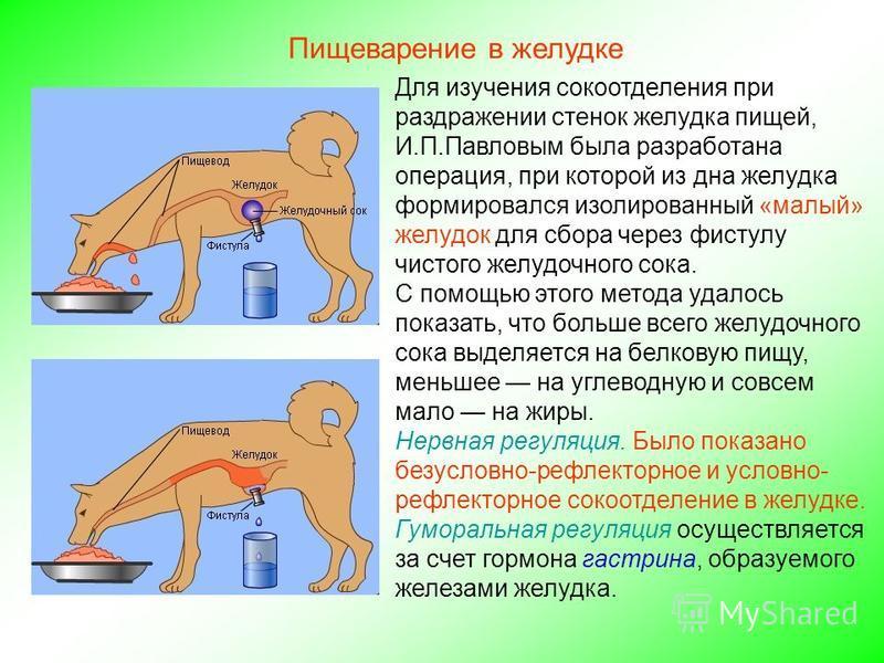 Для изучения сокоотделения при раздражении стенок желудка пищей, И.П.Павловым была разработана операция, при которой из дна желудка формировался изолированный «малый» желудок для сбора через фистулу чистого желудочного сока. С помощью этого метода уд