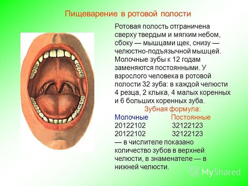 Ротовая полость отграничена сверху твердым и мягким небом, сбоку мышцами щек, снизу челюстно-подъязычной мышцей. Молочные зубы к 12 годам заменяются постоянными. У взрослого человека в ротовой полости 32 зуба: в каждой челюсти 4 резца, 2 клыка, 4 мал