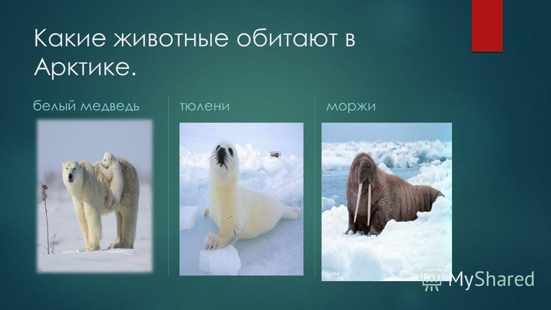 Какие животные обитают в Арктике. белый медведь тюлени моржи