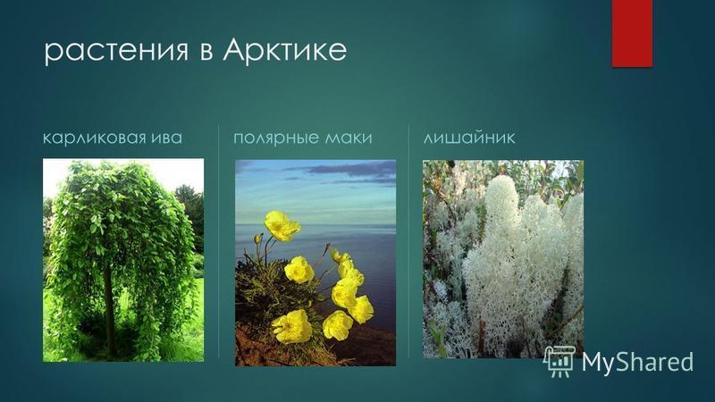 растения в Арктике карликовая ива полярные маки лишайник