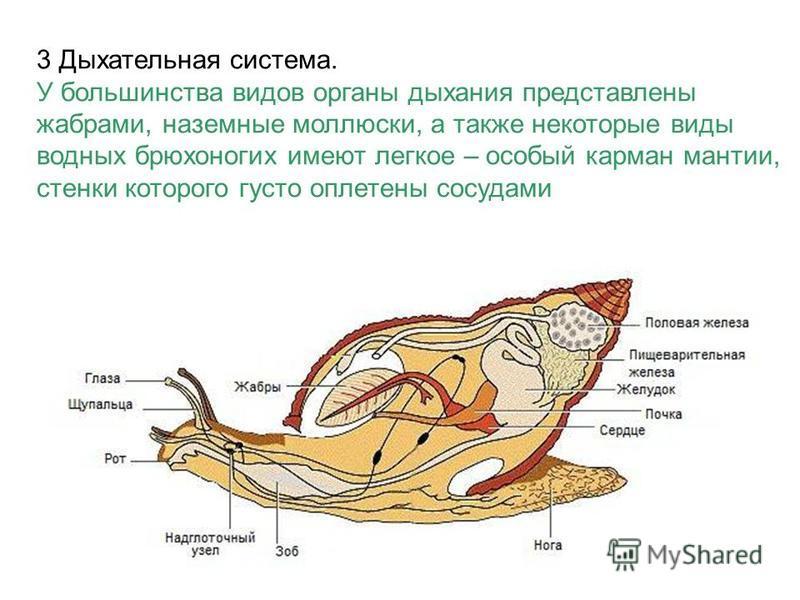 3 Дыхательная система. У большинства видов органы дыхания представлены жабрами, наземные моллюски, а также некоторые виды водных брюхоногих имеют легкое – особый карман мантии, стенки которого густо оплетены сосудами