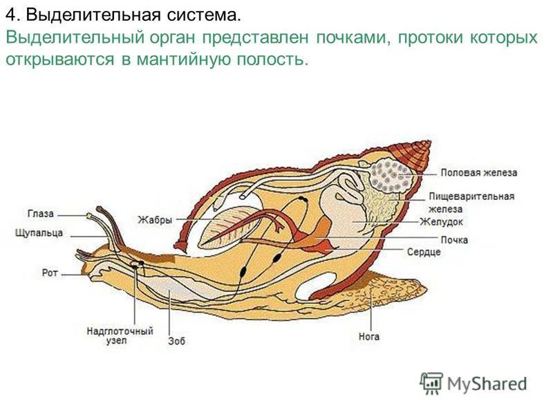 4. Выделительная система. Выделительный орган представлен почками, протоки которых открываются в мантийную полость.