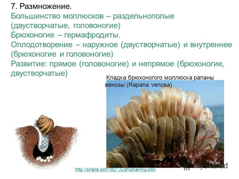 7. Размножение. Большинство моллюсков – раздельнополые (двустворчатые, головоногие) Брюхоногие – гермафродиты. Оплодотворение – наружное (двустворчатые) и внутреннее (брюхоногие и головоногие) Развитие: прямое (головоногие) и непрямое (брюхоногие, дв
