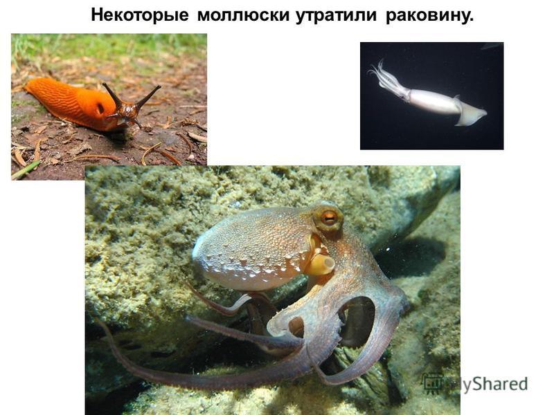Некоторые моллюски утратили раковину.