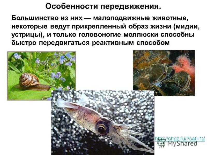 Особенности передвижения. Большинство из них малоподвижные животные, некоторые ведут прикрепленный образ жизни (мидии, устрицы), и только головоногие моллюски способны быстро передвигаться реактивным способом http://chpz.ru/?cat=12