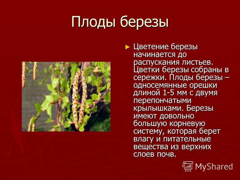 Плоды березы Цветение березы начинается до распускания листьев. Цветки березы собраны в сережки. Плоды березы – односемянные орешки длиной 1-5 мм с двумя перепончатыми крылышками. Березы имеют довольно большую корневую систему, которая берет влагу и