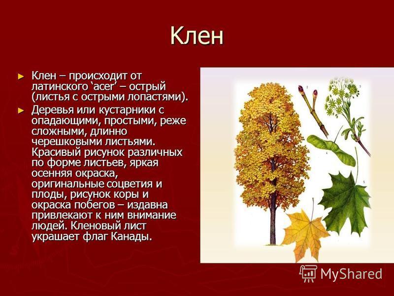 Kлен Клен – происходит от латинского acer – острый (листья с острыми лопастями). Клен – происходит от латинского acer – острый (листья с острыми лопастями). Деревья или кустарники с опадающими, простыми, реже сложными, длинно черешковыми листьями. Кр