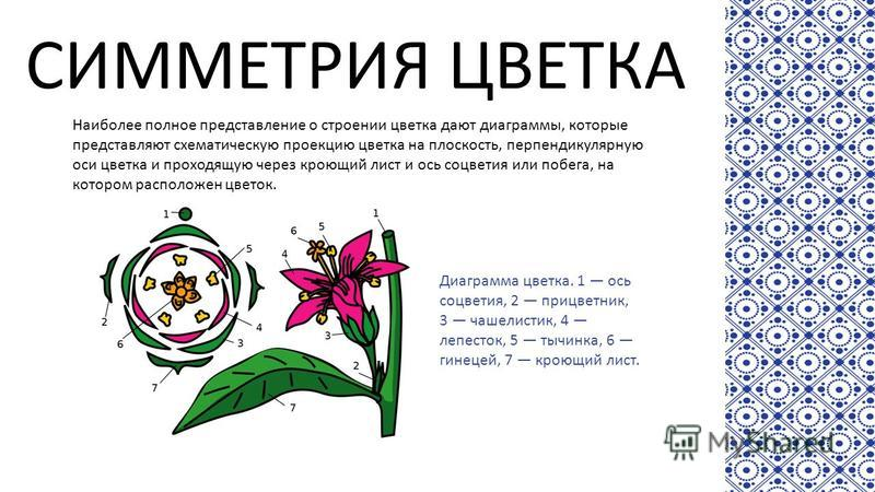 СИММЕТРИЯ ЦВЕТКА Наиболее полное представление о строении цветка дают диаграммы, которые представляют схематическую проекцию цветка на плоскость, перпендикулярную оси цветка и проходящую через кроющий лист и ось соцветия или побега, на котором распол