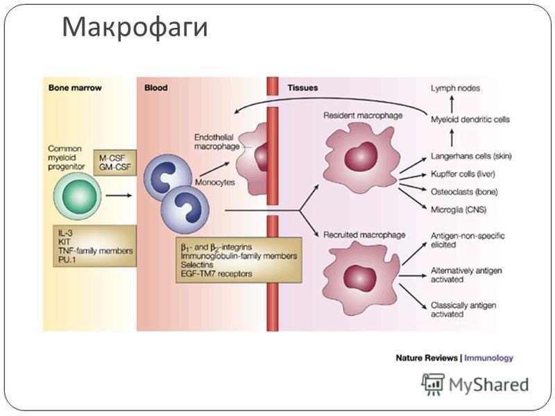 Макрофаги