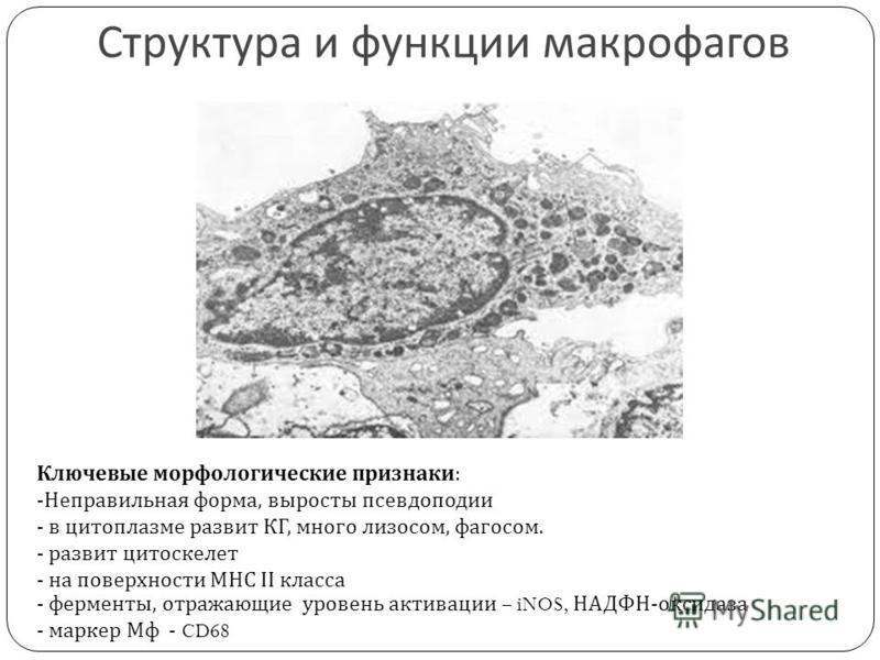 Структура и функции макрофагов Ключевые морфологические признаки : -Неправильная форма, выросты псевдоподии - в цитоплазме развит КГ, много лизосом, фагосом. - развит цитоскелет - на поверхности МНС ІІ класса - ферменты, отражающие уровень активации