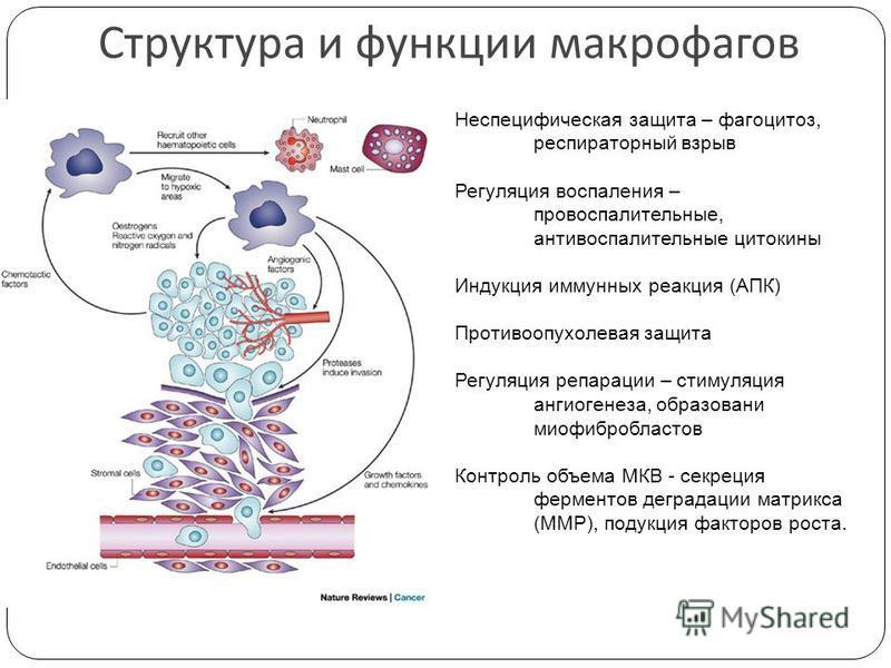 Структура и функции макрофагов Неспецифическая защита – фагоцитоз, респираторный взрыв Регуляция воспаления – провоспалительные, антивоспалительные цитокины Индукция иммунных реакция (АПК) Противоопухолевая защита Регуляция репарации – стимуляция анг