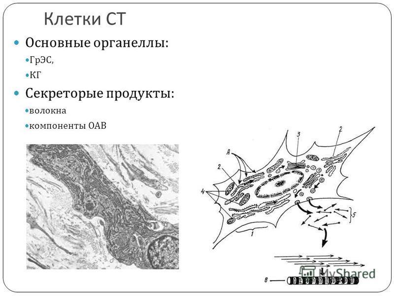 Клетки СТ Основные органеллы : ГрЭС, КГ Секреторые продукты : волокна компоненты ОАВ