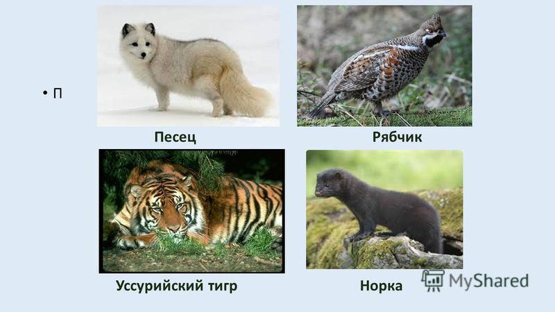 В арктической и тундровой зоне встречается песец, северный олень, полярный заяц, тюлени, моржи, белый медведь. В тайге обитают медведь, рысь, росомаха, лось, соболь, горностай, бурундук, белка, гнездятся глухарь, рябчик, тетерев, дятлы, кедровка. В л