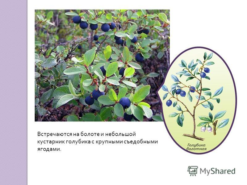 Встречаются на болоте и небольшой кустарник голубика с крупными съедобными ягодами.
