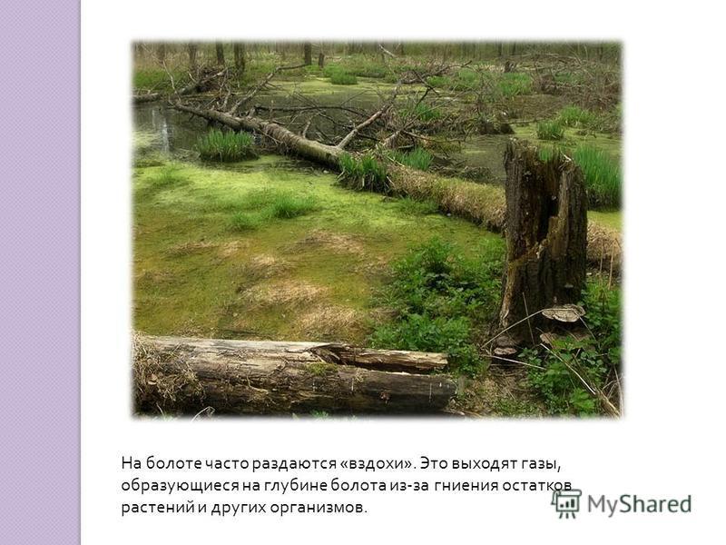 На болоте часто раздаются « вздохи ». Это выходят газы, образующиеся на глубине болота из - за гниения остатков растений и других организмов.
