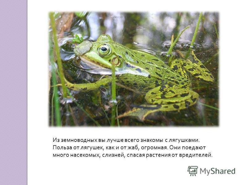 Из земноводных вы лучше всего знакомы с лягушками. Польза от лягушек, как и от жаб, огромная. Они поедают много насекомых, слизней, спасая растения от вредителей.