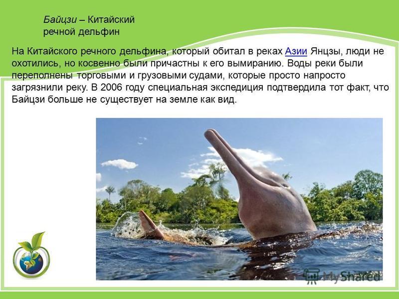 Байцзи – Китайский речной дельфин На Китайского речного дельфина, который обитал в реках Азии Янцзы, люди не охотились, но косвенно были причастны к его вымиранию. Воды реки были переполнены торговыми и грузовыми судами, которые просто напросто загря