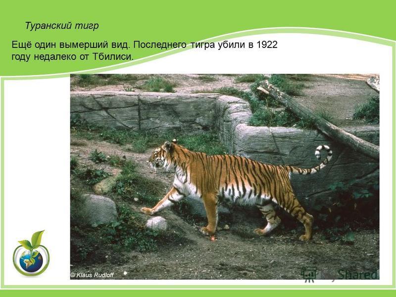 Ещё один вымерший вид. Последнего тигра убили в 1922 году недалеко от Тбилиси. Туранский тигр