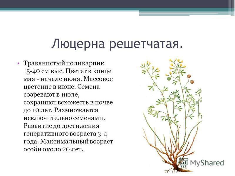 Люцерна решетчатая. Травянистый поликарпик 15-40 см выс. Цветет в конце мая - начале июня. Массовое цветение в июне. Семена созревают в июле, сохраняют всхожесть в почве до 10 лет. Размножается исключительно семенами. Развитие до достижения генератив