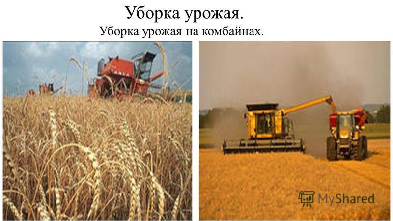 Так же пшеница золотится в поле.
