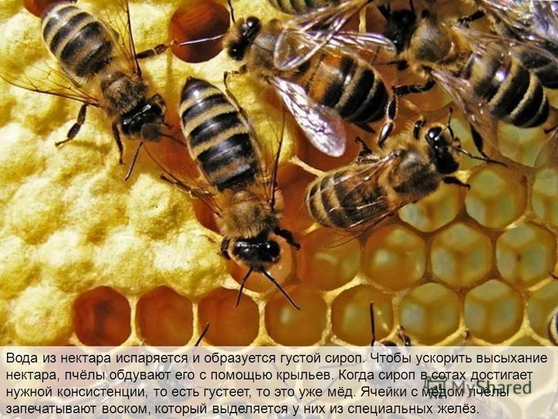 Полевая пчела приносит нектар в улей, где его несколько раз пережевывают другие рабочие пчёлы, как жвачку. Это помогает сделать нектар легко усвояемым и предохраняет его от порчи бактериями, когда его откладывают про запас. Затем обработанный нектар