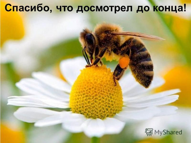 Зимой пчёлы в спячку не впадают. Они находятся в улье, но ведут нормальную жизнь. Питаются заранее заготовленными мёдом и пергой. Когда температура опускается ниже 6-8 градусов, они собираются в один большой шар «клуб». В центре клуба температура уде