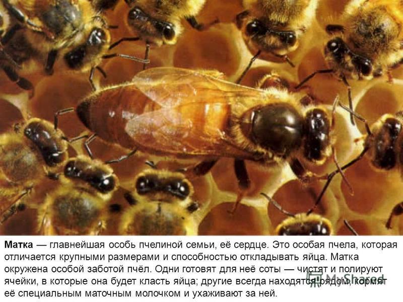 Медоносные пчёлы живут огромными семьями, которые насчитывают десятки тысяч особей. Каждая семья имеет свой фамильный запах, по которому пчёлы отличают своих от чужих. Общаются пчёлы звуками и движениями с помощью особых «танцев» они рассказывают, гд