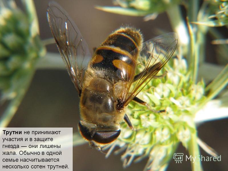 Трутни мужские особи, без них вид медоносных пчёл размножаться не может. Никаких работ в семье трутни не выполняют и не приспособлены к ним. Они даже не могут сами себе добывать еду.
