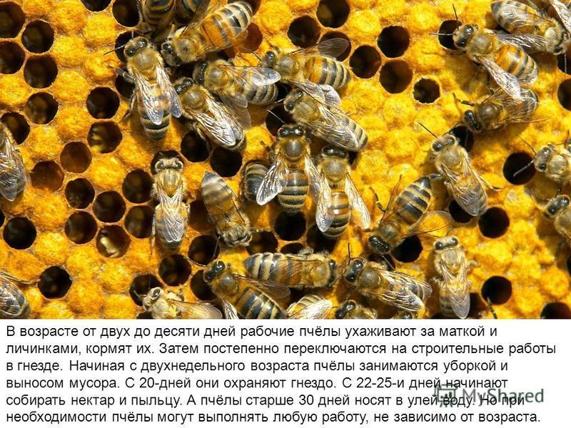 Буквально всю работу в семье выполняют маленькие рабочие пчёлы. Причем в разном возрасте они выполняют разные виды работ.